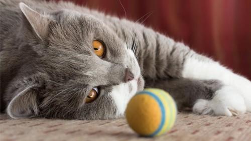 おもちゃに無関心な猫