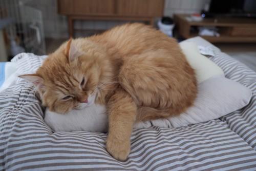 枕で寝る猫