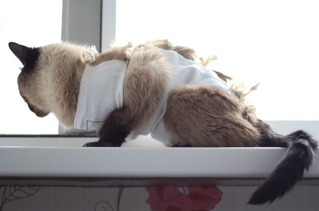 好酸球性肉芽腫の治療をした猫