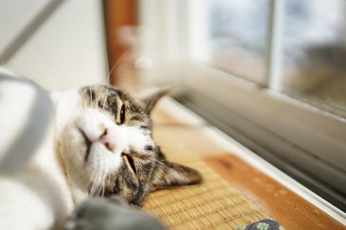 窓辺で横になってひなたぼっこをしている猫