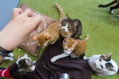 猫カフェでオヤツを持つ人の周りに集まる猫たち