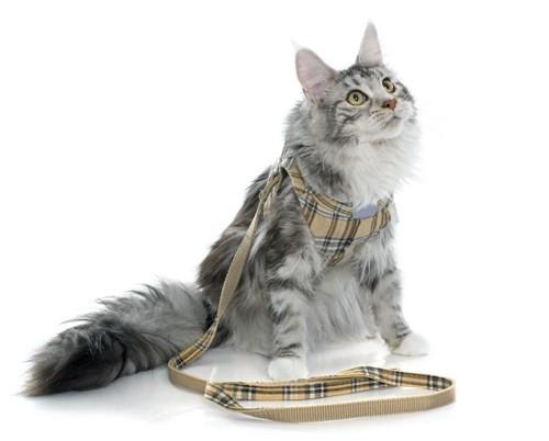 ハーネスをつけて見上げる猫