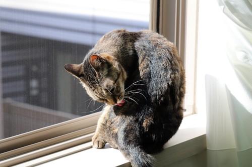 体を舐めている猫