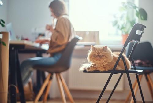 飼い主の近くでイスに乗る猫
