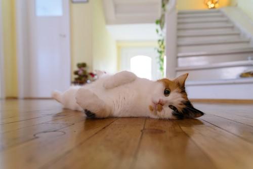 ゆかに転がる猫