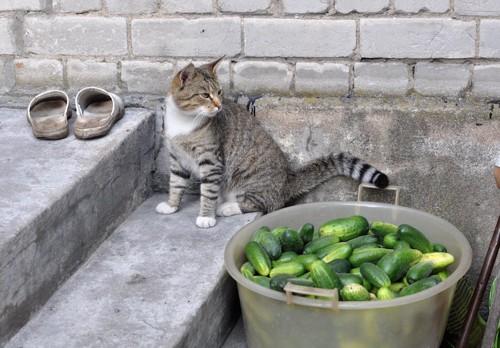 バケツの中のキュウリを見る猫