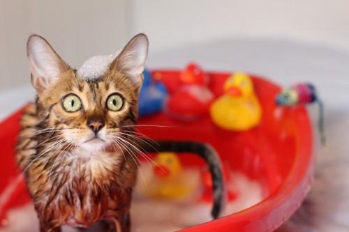 赤い桶でシャンプーされる猫