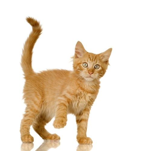 尻尾を立てて片手を上げる猫