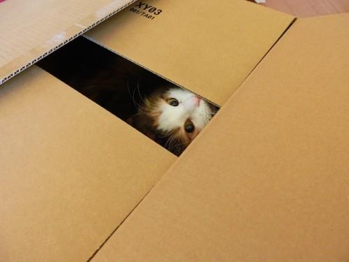 閉められたダンボールから顔を出す猫