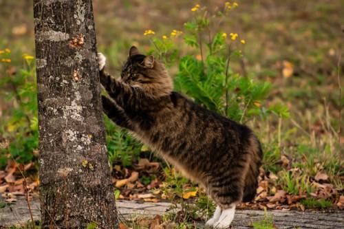 木で爪を研ぐメインクーン