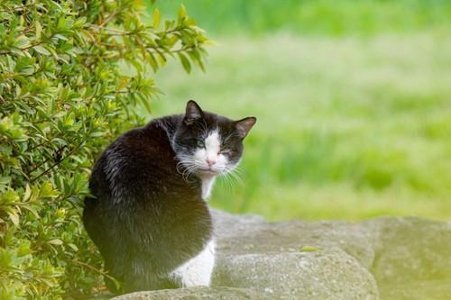振り向く白黒猫