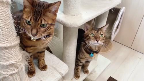 キャットタワーにいる2匹の猫