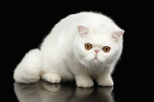 まっしろなエキゾチックショートヘアの子猫