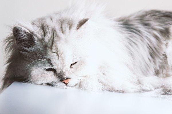 眠るペルシャ猫