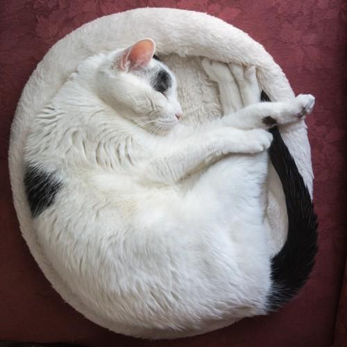 クッションの上で丸くなる白い猫