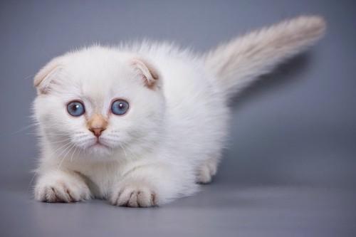 まん丸な瞳で見つめる子猫