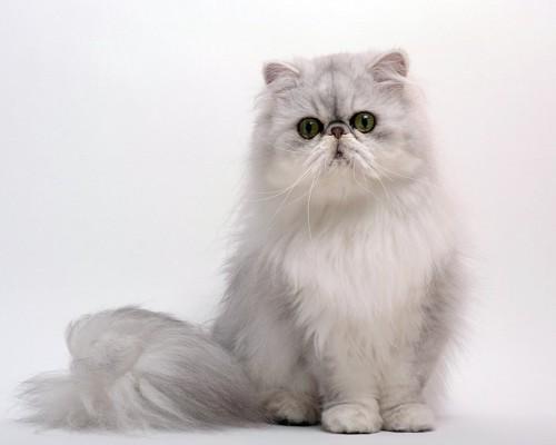 座って見つめるペルシャ猫