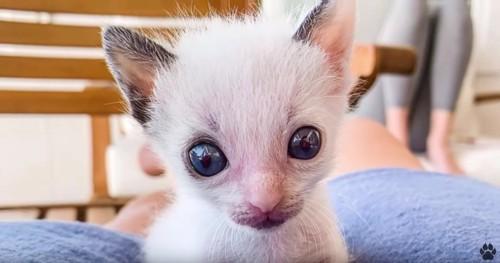 大きな目と耳の子猫