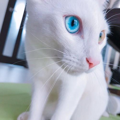 青い瞳が美しい白猫