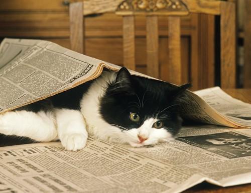 新聞紙で遊ぶ猫