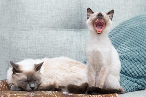 眠っている猫の隣であくびをする猫