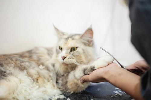 足の毛をカットされている猫
