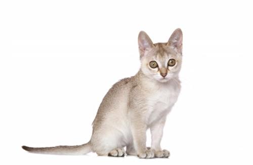 お座りするシンガプーラの子猫