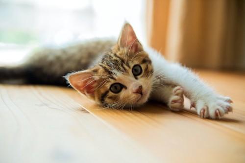 フローリングの上で寝転ぶ子猫