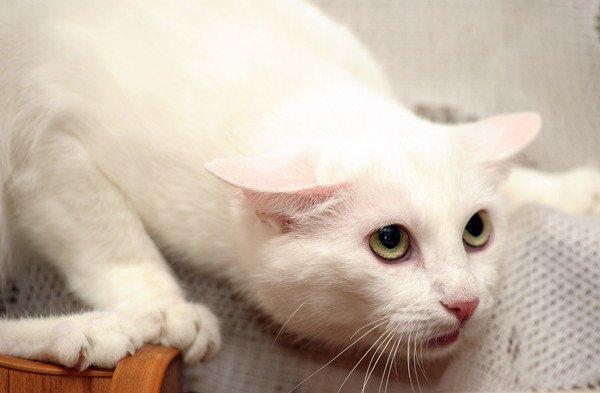 伏せてこちらを見つめる白猫