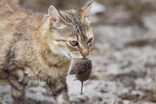 ねずみをくわえた猫