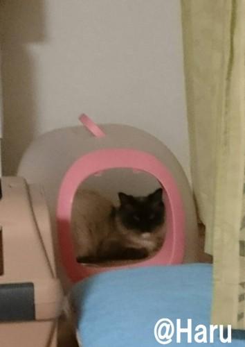 #トイレの中にいる猫#