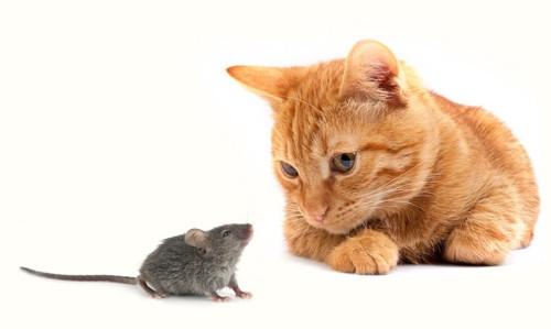 見つめ合う猫とネズミ