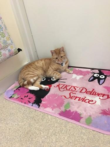 ドアの前で寝そべる先住猫