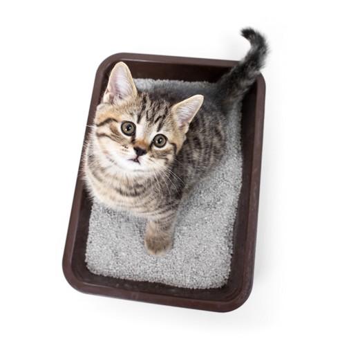 猫用トイレに入って上を見る子猫