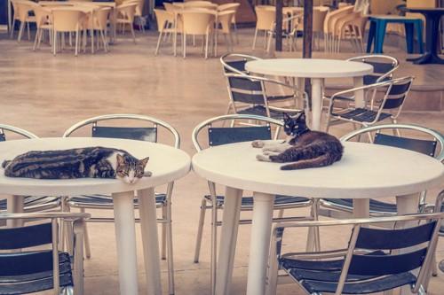 カフェでくつろぐ猫