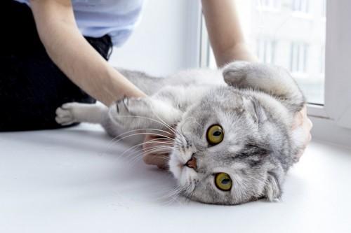 仰向けにされる猫