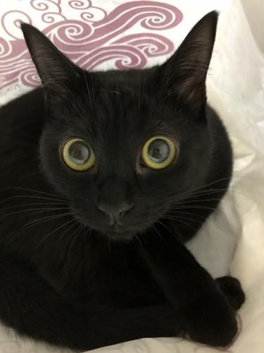 目がまんまるな黒猫