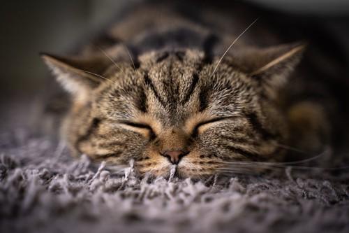 カーペットの上で眠っているキジトラ猫