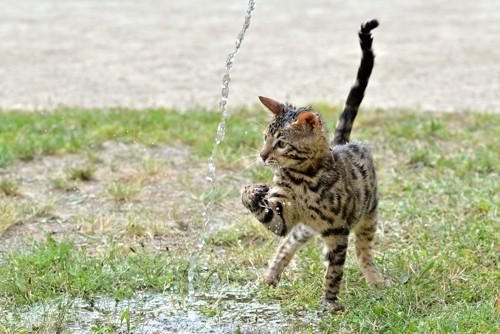 水で遊ぶベンガル猫