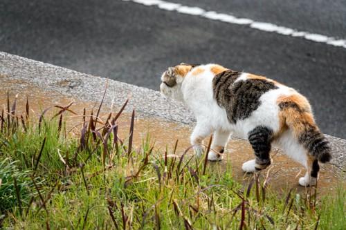 道路を歩く三毛猫の後ろ姿
