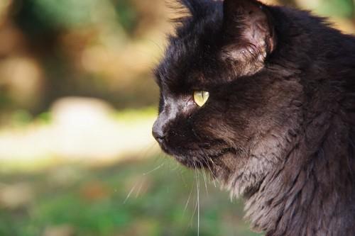凛々しい黒猫の横顔