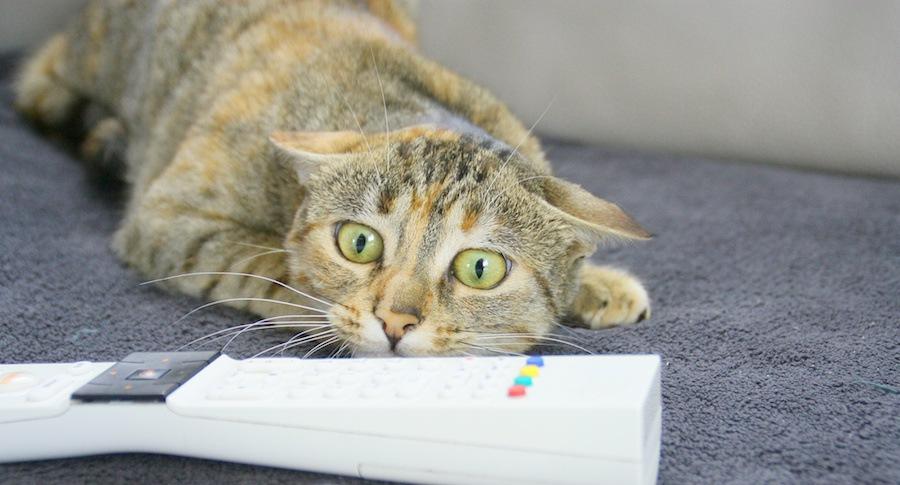 耳を伏せる猫