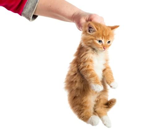 首の後ろを掴まれる猫