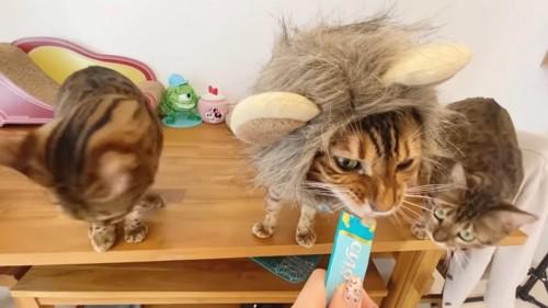 おやつを食べる猫