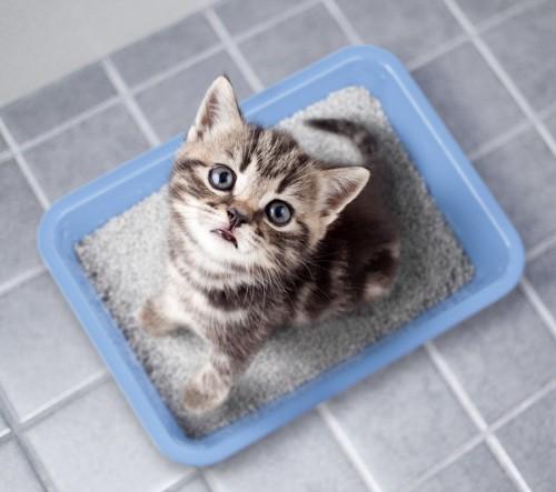 ブルーのトイレで見上げている子猫