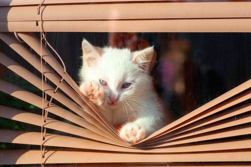 ブラインドを下げて外を見る子猫
