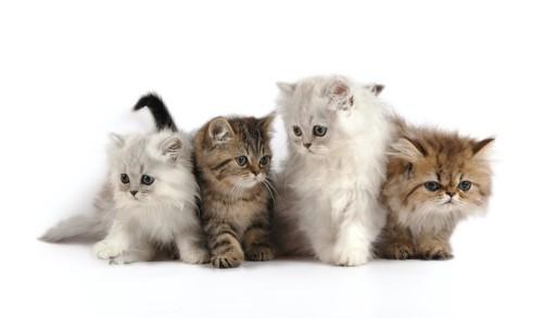 4匹のペルシャの子猫たち