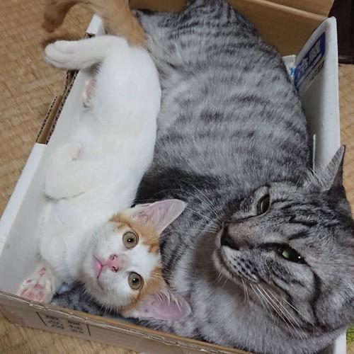 先住猫と寛ぐちょこちゃん