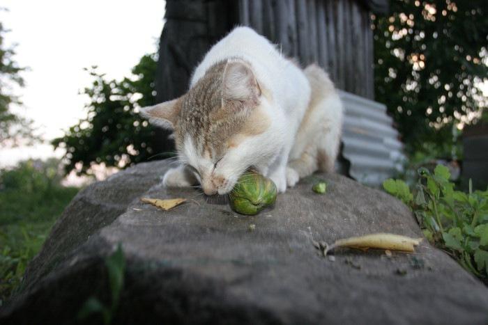きゅうりを食べる猫