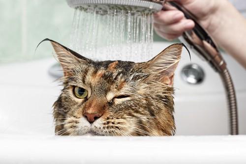 シャワーされる猫